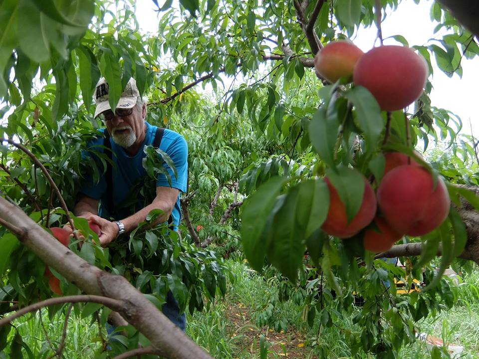 Tom Gleaning Peaches