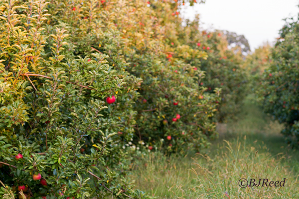 Rows of PA Apples