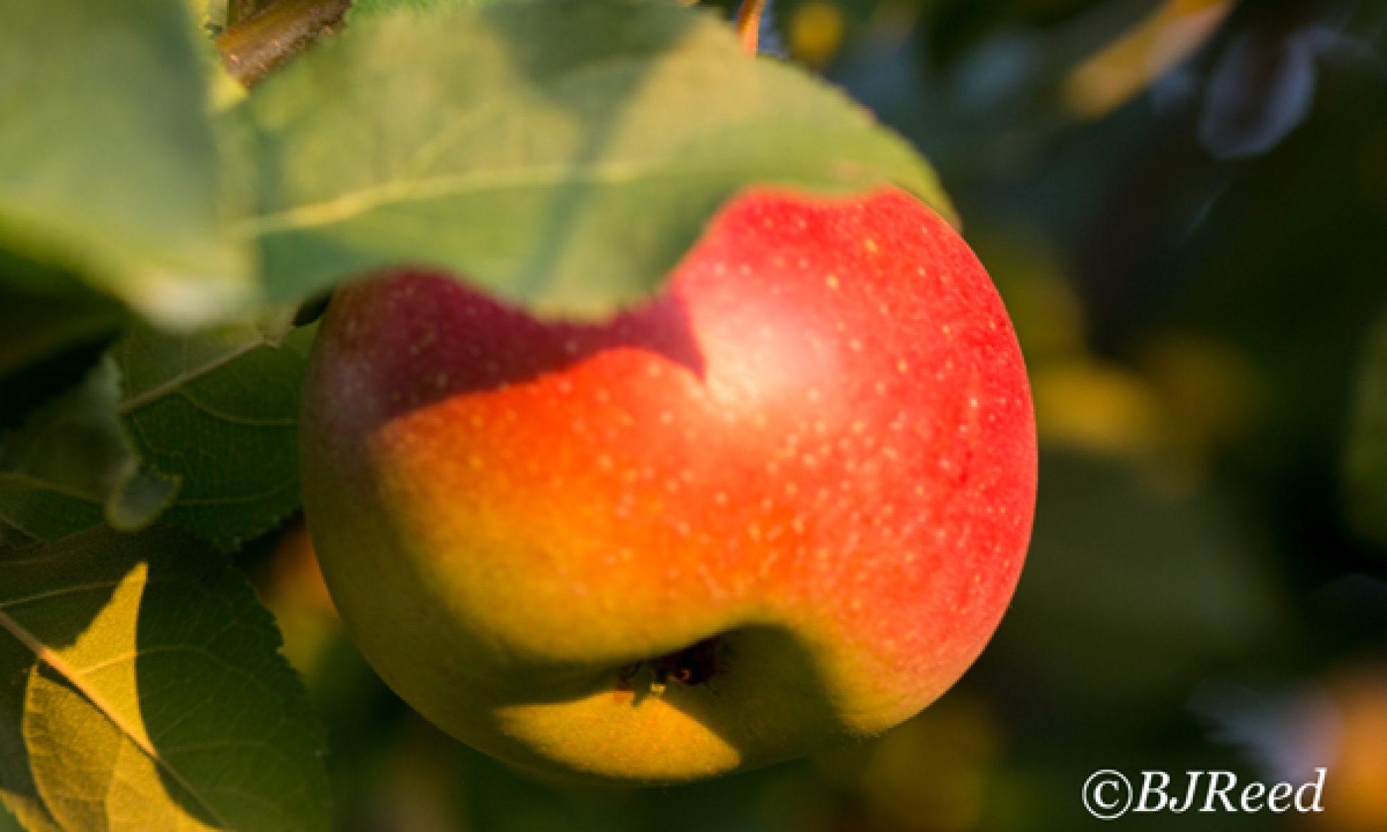 PA Apples