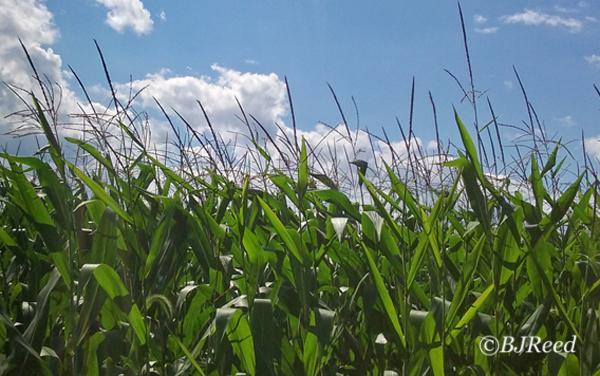 Corn in the Wind